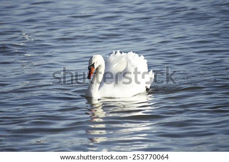 Single White Swan in Blue Water, Sunny day - stock photo