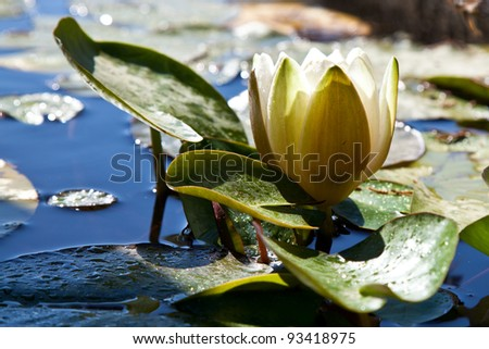Single white water lily blossom with lilipads, very serene and tranquil.