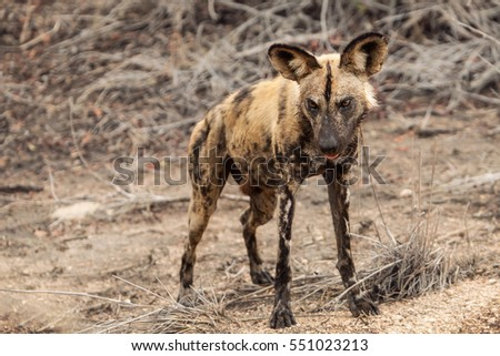 Single Wild Dog of South Africa