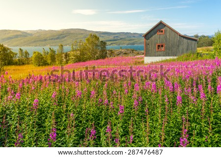 Single wooden scandinavian house in a summer flower field, Norway