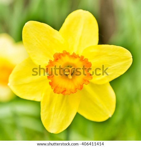 Single yellow daffodil bloom in the park - stock photo
