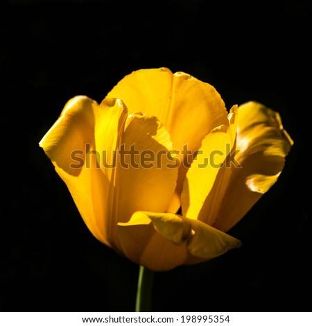 Single Yellow flower on a black background macro - stock photo
