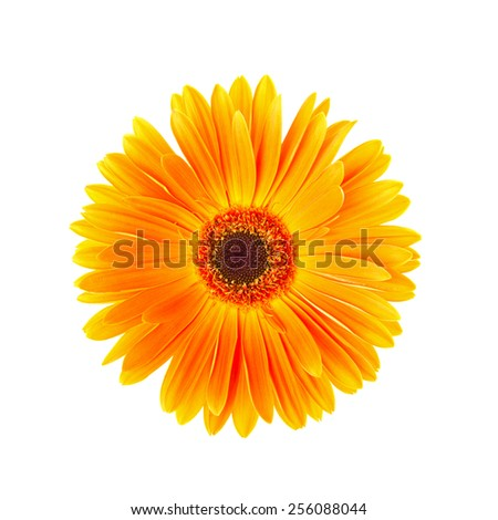 Single yellow gerbera flower isolated on white background