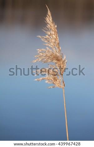 Single yellow grass, lake in background, macro - stock photo