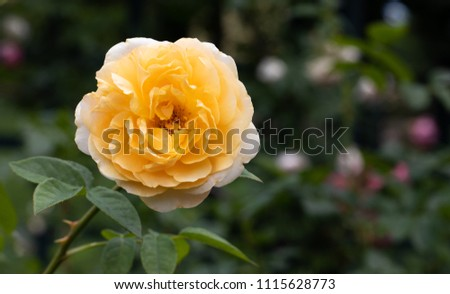 Single yellow hybrid shrub rose Teasing Georgia on stem with leaves in selective focus