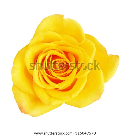 single yellow rose flower, isolated on white, top view