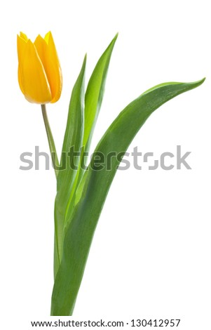 Single yellow tulip, isolated on white.