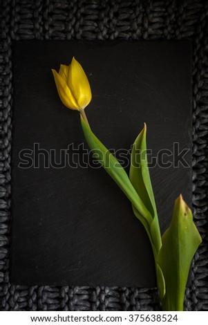 Single yellow tulip on a black background - stock photo