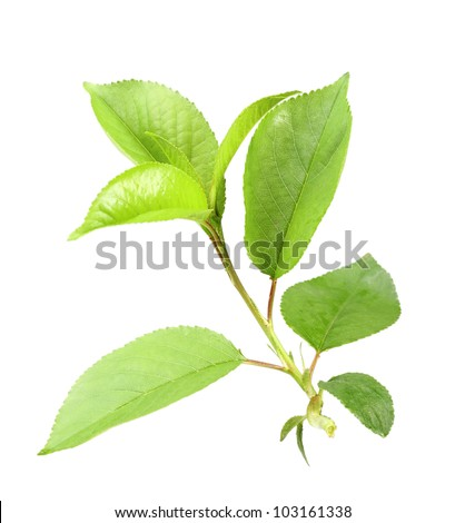 Single young green sprout of apple-tree with leaf. Isolated on white background. Close-up. Studio photography. - stock photo
