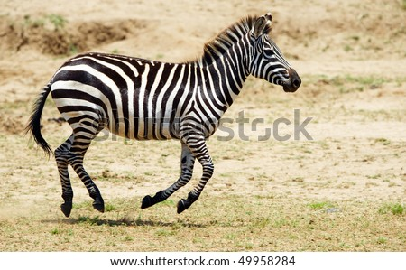Single zebra (African Equid) running in the nature reserve in South Africa