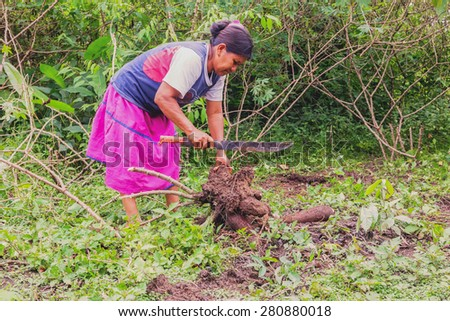 Siona Woman Picking Yucca From The Garden To Prepare Yucca Bread, Cassava In A Traditional Way