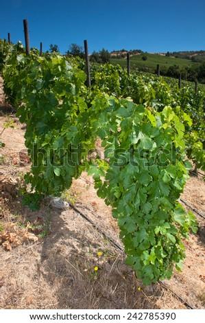 sirah wineyard - stock photo