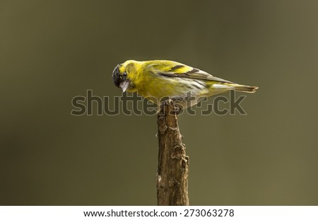 Siskin on a branch
