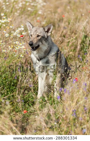 siting wolfdog in meadow