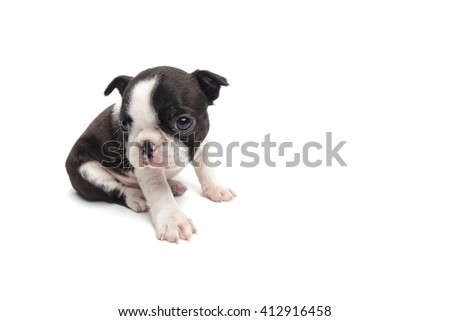 sitting boston terrier puppy  on white background isolated - stock photo