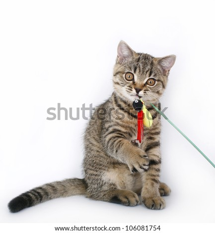 sitting British kitten with a toy - stock photo