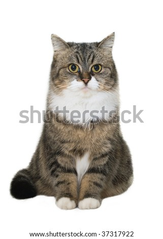 Sitting brown cat isolated over white background - stock photo