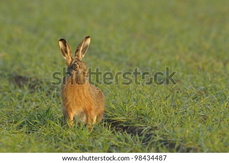 Sitting brown hare in the field