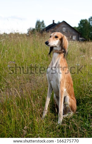 Sitting brown saluki in green grass in front of wooden house