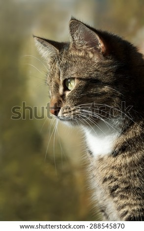 Sitting cat and looking through the window in blur window background low ISO, cat close up, cat at home, domestic animal, serious cat, curious cat looking through the window on warm sunset light - stock photo