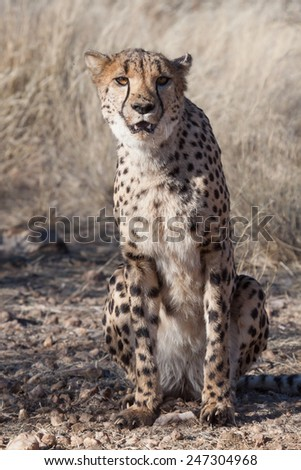 sitting cheetah in the dry grass of the Savanna, Namibia - stock photo