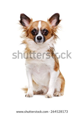 sitting chihuahua dog isolated on white portrait