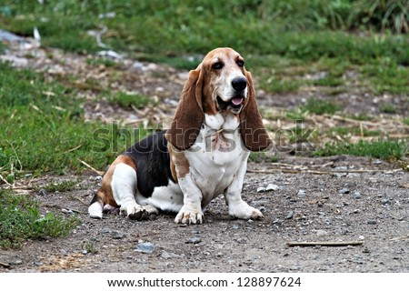 sitting cute basset - stock photo