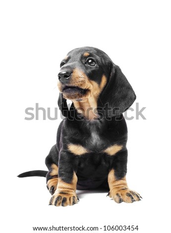 sitting dachshund puppy - stock photo