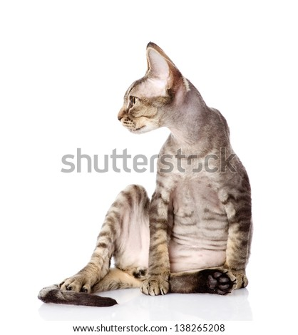sitting devon rex cat. looking left. isolated on white background - stock photo
