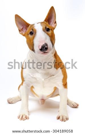 Sitting dog - funny breed bull terrier on white background, portrait  - stock photo