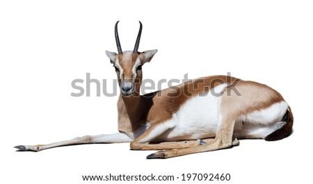 Sitting dorcas gazelle over white with shade - stock photo