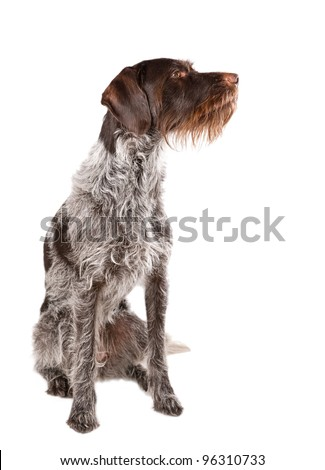 Sitting German wire-haired pointer with white background.