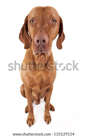 sitting golden color Hungarian vizsla dog looking straight into the camera lens on white background