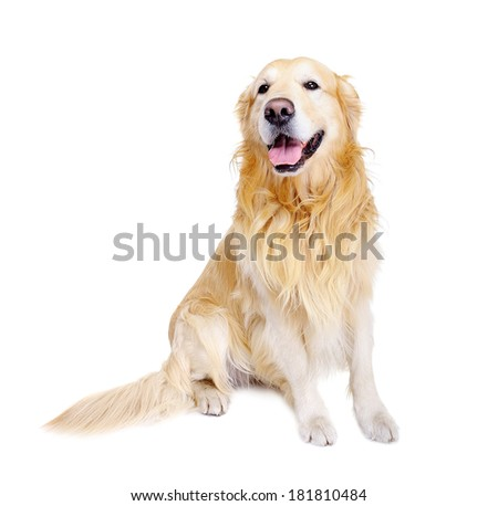sitting golden retriever front view - stock photo