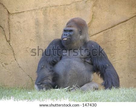 Sitting Gorilla - stock photo