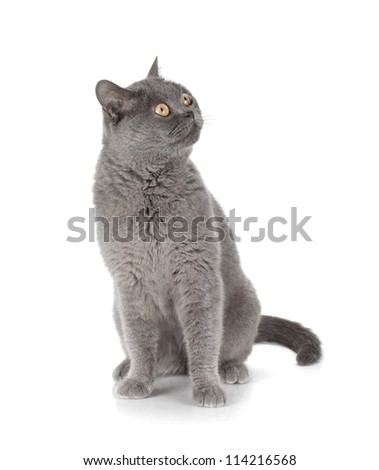 Sitting grey cat looking up. Isolated on white background