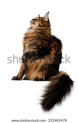 sitting  maine coon cat side view isolated on white