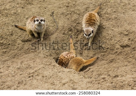 Sitting meerkats - stock photo