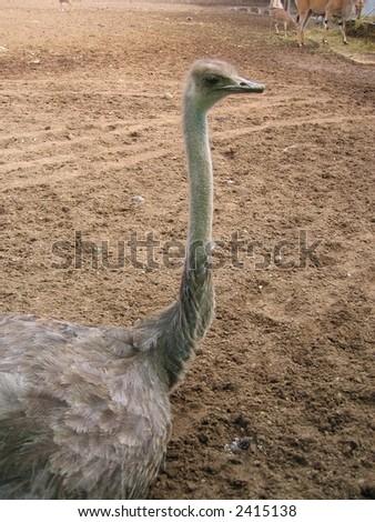 sitting ostrich - stock photo