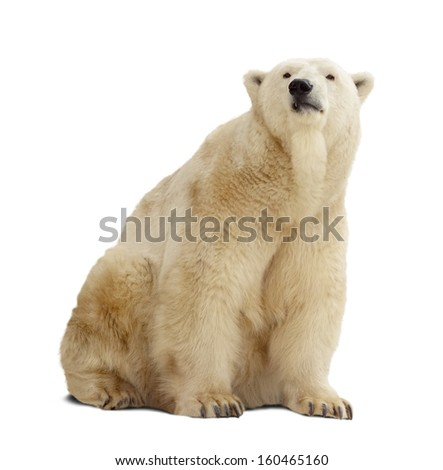 Sitting polar bear. Isolated over white background with shade - stock photo