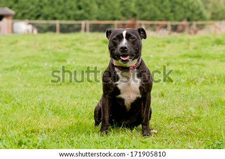 Sitting pretty-elderly pit bull type dog sits relaxing in grassy garden in rural england on summers day. - stock photo