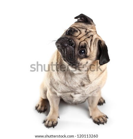 Sitting Pug isolated on White Background with shadow. Focus on eyes - stock photo