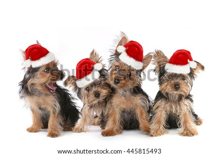 Sitting Puppy Dogs With Cute Expression and Santa Hat