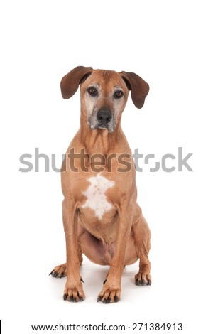 Sitting Rhodesian Ridgeback, looking at camera. Isolated on white.