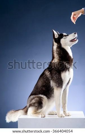 Sitting siberian husky in studio - stock photo