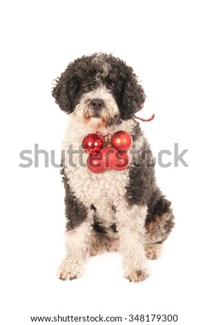 Sitting Spanish water dog with red Christmas balls, looking at camera. Isolated on white.