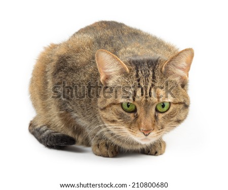 sitting tabby cat on white background - stock photo