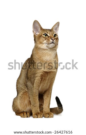 Sitting usual Abyssinian - stock photo