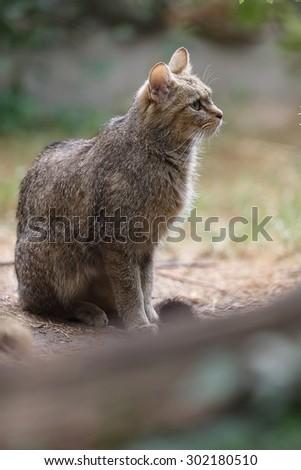 sitting Wildcat  - stock photo