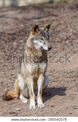 sitting wolf - stock photo